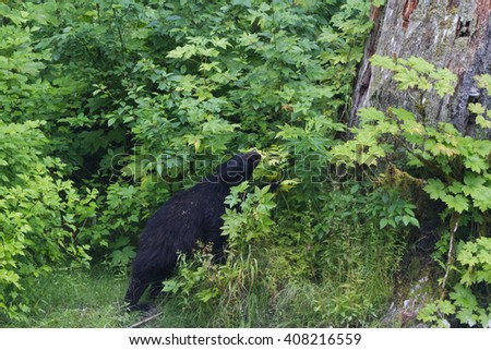 Black bear eat berry at hyder Alaska - stock photo