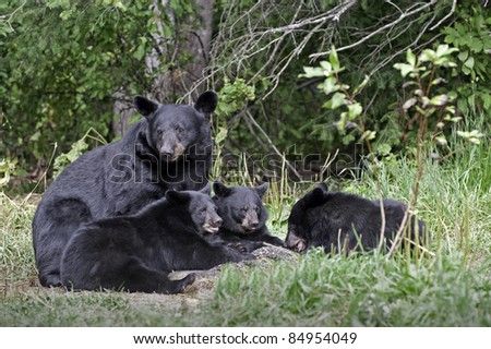 Black Bear Family Portrait.  Female black bear (Ursus Americanus) and three cubs eating in the meadow. - stock photo