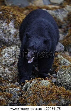 Black Bear foraging on the beach - stock photo