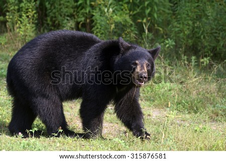 Black bear in a clearing