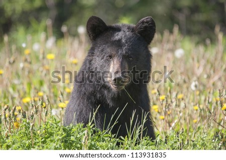 black bear in dandelions