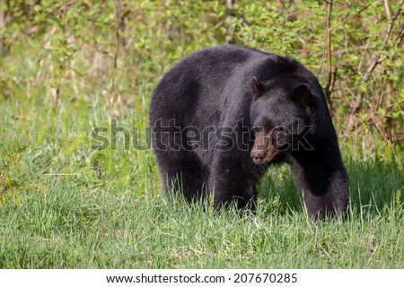 Black bear in evening light