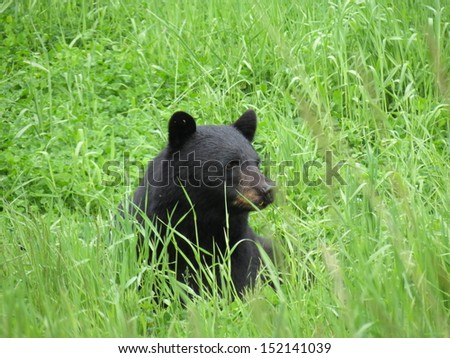 Black Bear in Green Grass