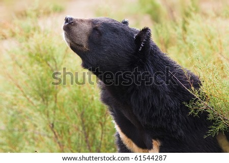 black bear in nature
