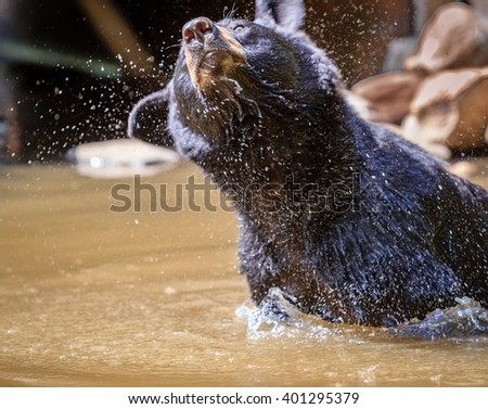 Black bear in pond shakes off excessive water - stock photo