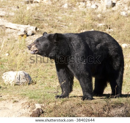 Black bear in the fall, background is dried out grass