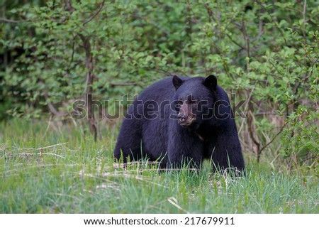 Black bear in the rocky mountains - stock photo