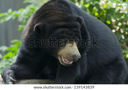 Black bear in the zoo open in Thailand - stock photo