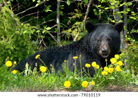 Black bear in wilderness. - stock photo