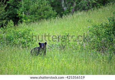 Black bear on the hill - Great Smoky Mountains National Park, Tennessee - stock photo