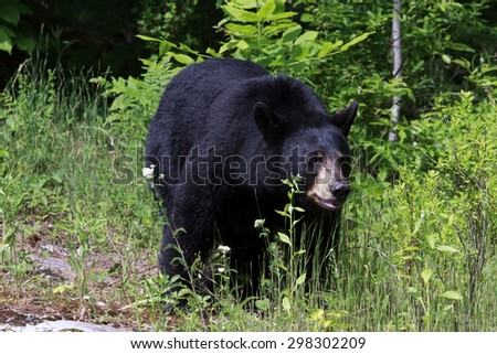 Black bear out for a stroll