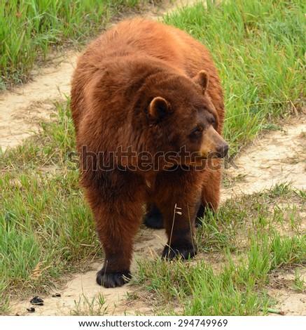 black bear roaming the plains  of   the wild animal sanctuary in keenesburg,  colorado    - stock photo