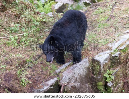Black Bear shaking off excess water