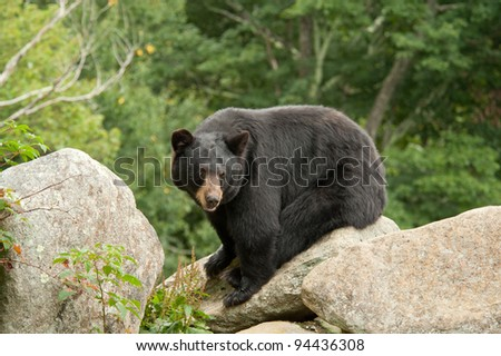 Black Bear sitting on rocks in the woods - stock photo
