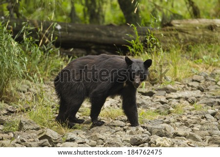 Black bear, Ursus americanus, female, sow, fishing for salmon, dog salmon, chum salmon, Kake, fishing village, Kuprenof Island, SE Alaska, USA