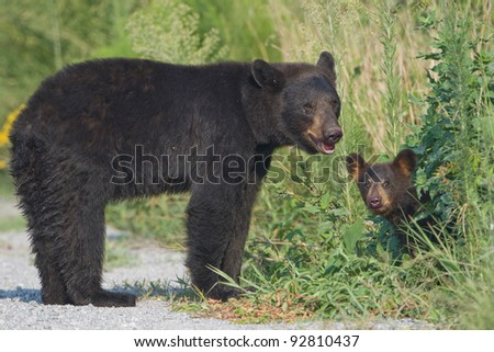 Black bear (Ursus americanus) mother standing in the road with young cub peeking out from the bushes. Alligator River National Wildlife Refuge, North Carolina, USA. - stock photo