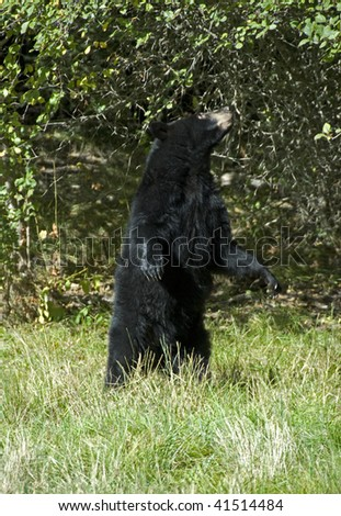 Black bear (ursus americanus) stands upright in aspen grove.