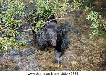 Black bear walking out from behind a branch in a salmon stream - stock photo