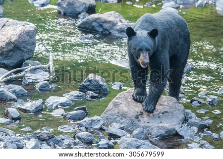 black bear while coming to you across the creek - stock photo