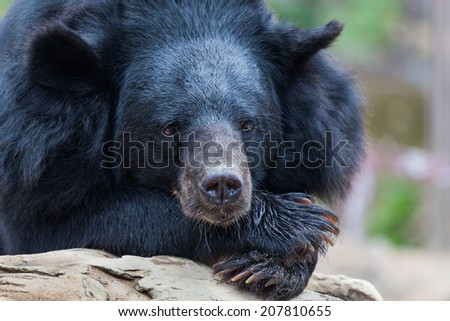 Black bears in the zoo. - stock photo