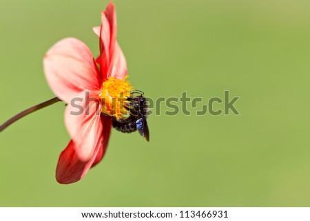 Black bee on flower - stock photo
