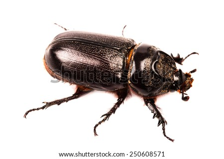 black beetle in isolated on white background