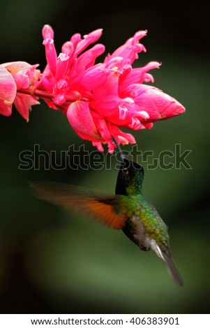 Black-Bellied Hummingbird, Eupherusa nigriventris, rare endemic hummingbird from Costa Rica, black bird flying next to beautiful pink flower, tropical forest, animal in the nature habitat - stock photo