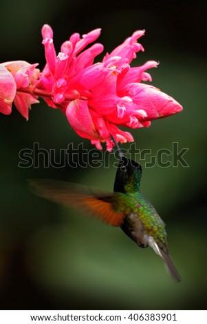 Black-Bellied Hummingbird, Eupherusa nigriventris, rare endemic hummingbird from Costa Rica, black bird flying next to beautiful pink flower, tropical forest, animal in the nature habitat - stock photo