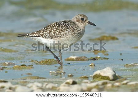 Black-bellied Plover walking along the shoreline. - stock photo