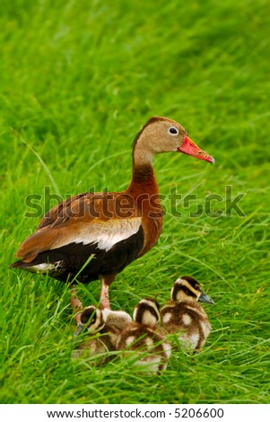 black bellied whistling duck stands guard over its ducklings - stock photo