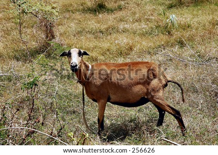 Black belly Sheep, St. Andrew, Barbados - stock photo