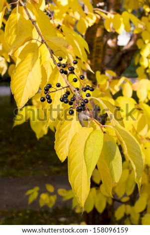 Black berries of bird cherry - stock photo