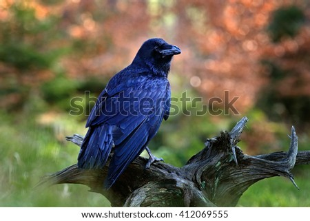 Black bird raven sitting on the tree trunk in the forest nature habitat, animal in autumn wood, dark plumage and big bill, Finland - stock photo