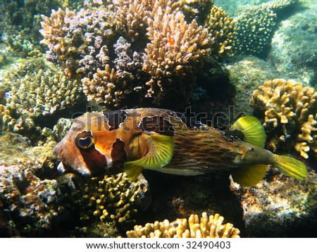 Black-blotched porcupinefish and reef - stock photo