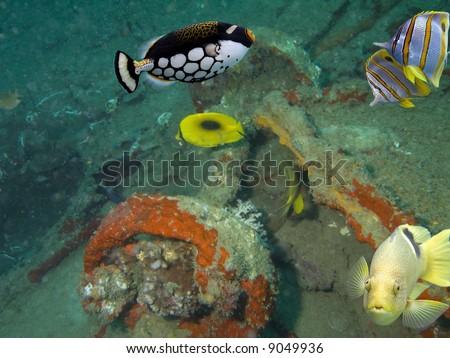 Black-blotched Rainbowfish (Halichoeres chloropterus), Big-spotted Clown Triggerfish (Balistoides conspicillum) and Longbeaked Coralfish (Chelmon rostratus) swimming over coral covered shipwreck. - stock photo