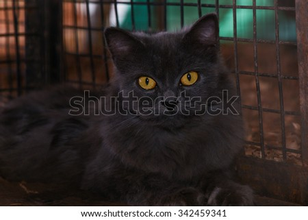 Black Bombay, Caged Black cat staring with golden yellow eyes. Cat in the cage with rage and sadness in eyes. Cruelty against animals.Symbol of bad luck, good fortune, evil omens, ghosts, superstition - stock photo