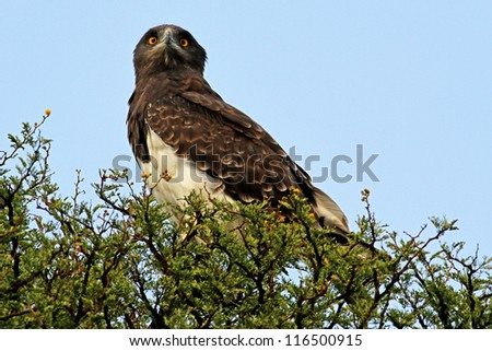 Black-breasted snake eagle (Circaetus gallicus) perched on a branch - stock photo