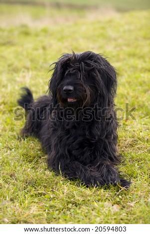 Black Briard - stock photo