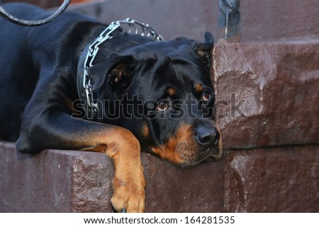 Black & brindle rottweiler wearing chain collar resting head on cement steps