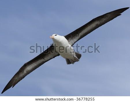 Black-browed albatross (Diomedea melanophris) flying near Saunders Island, Falkland Islands - stock photo