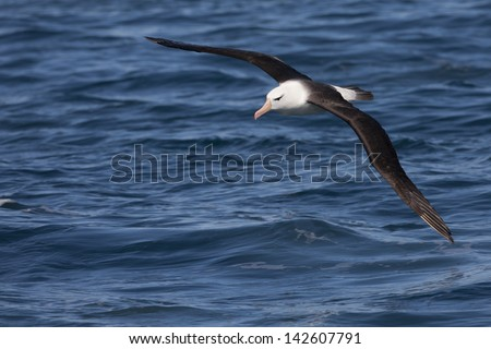 Black-browed Albatross (Thalassarche melanophris melanophris), Black-browed subspecies, adult in flight over the waters of Steeple Jason Island in the Falklands. - stock photo