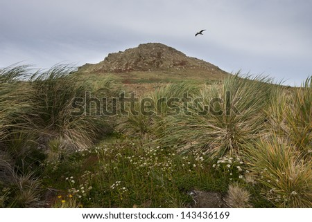 Black-browed Albatross (Thalassarche melanophris melanophris), Black-browed subspecies, adult in flight over Steeple Jason Island in the Falklands framed by tussock grass, flowers, and other plants. - stock photo