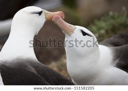 Black-browed Albatross (Thalassarche melanophris melanophris), Black-browed subspecies, mates engaged in a courtship display on their breeding colony on Saunders Island in the Falklands. - stock photo