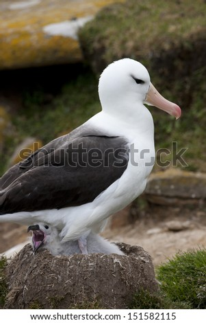 Black-browed Albatross (Thalassarche melanophris melanophris), Black-browed subspecies, parent and it's chick (yawning) in a nest at their breeding colony on Saunders Island in the Falklands. - stock photo