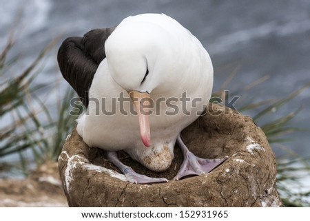 Black-browed Albatross with Egg/ Black-browed Albatross (Thalassarche melanophrys) with its egg on a nest in a breeding colony on the Falkland Islands - stock photo