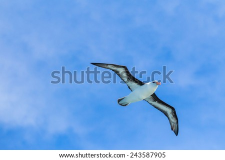 Black browed albatross with 12 foot wingspan - stock photo