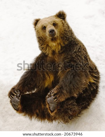 Black brown bear sitting on snow. - stock photo