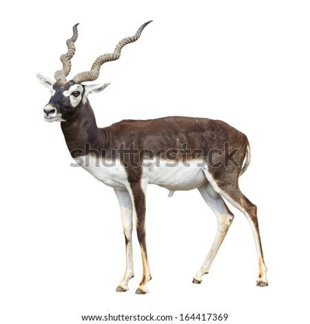 Black buck antelope isolated on white background  - stock photo