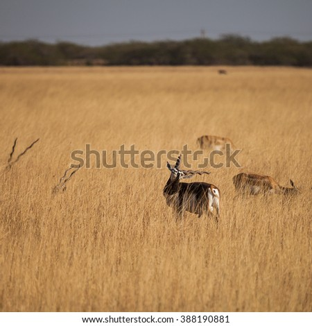 Black Buck is an ungulate species of antelope native to the Indian subcontinent that has been listed as Near Threatened on the IUCN Red List - stock photo