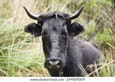 Black bull eating grass in the countryside.